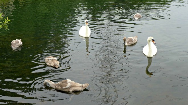 Swans and cygnets and sale water park