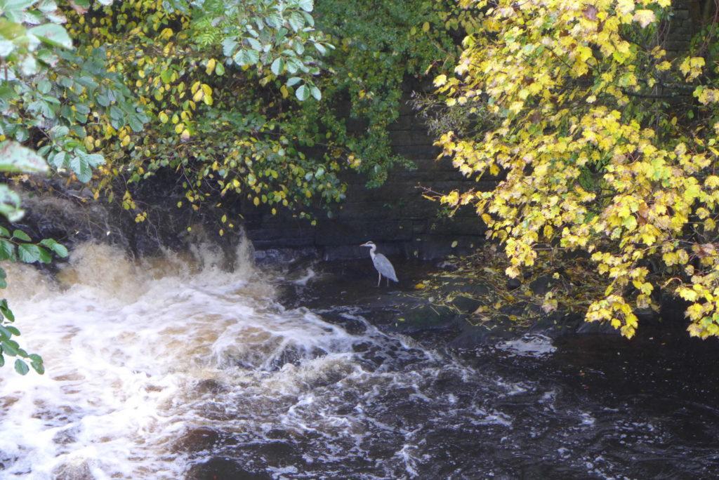 marple bridge heron