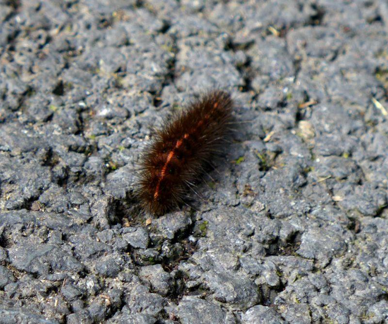 A caterpillar we found